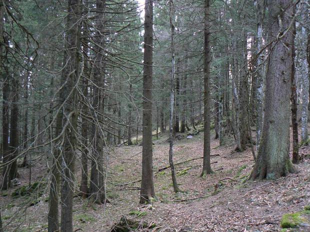 Fichtenwald auf der Obwaldner Seite