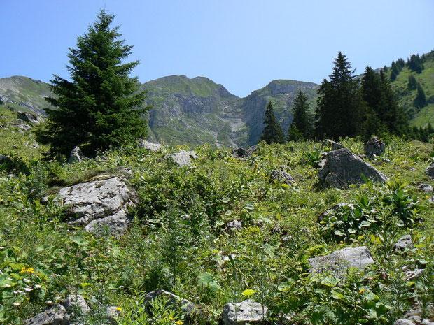 Hochstaudenfluren auf der Alp Les Baudes zum Vanil Noir FR