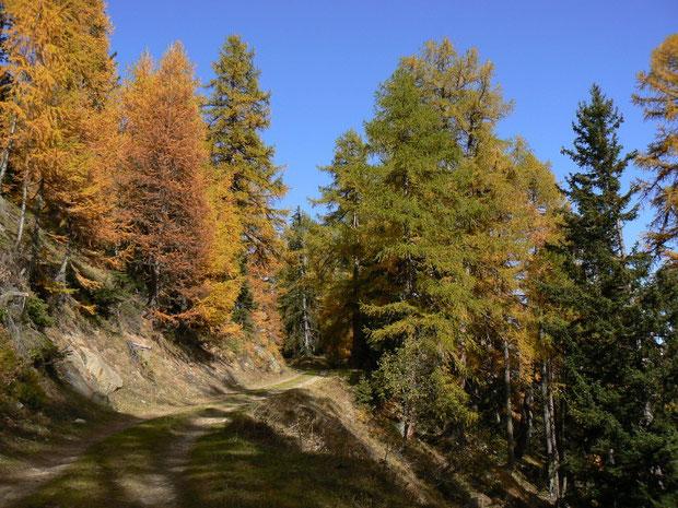 Underi Meiggu zwischen Jeizinen und Faldumalp mit Lärchen- und Fichtenwald