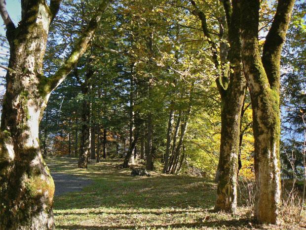 Berg-Ahorn-Waldlichtung auf der Berner Seite der Tschorrenflue