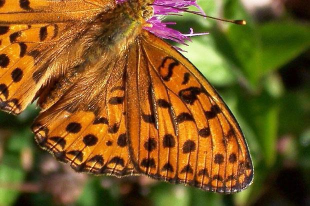 Duftschuppen beim Argynis adippe-Männchen in Form von zwei verdickten Strichen auf der Vorderflügeloberseite