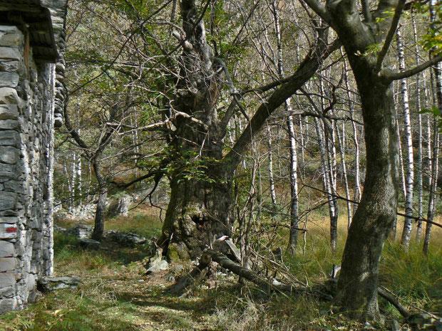 Kastanienwald übergehend in Birkenwald  im Maggiatal TI