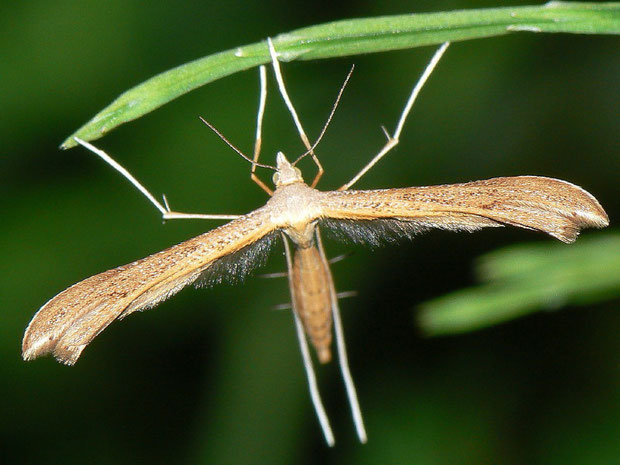 Stenoptilia pterodactyla (Pterophoridae / Federmotten)