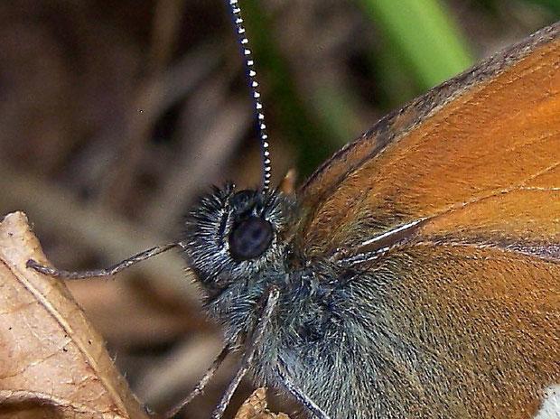 Auge von Coenonympha arcania (Perlgrasfalter)
