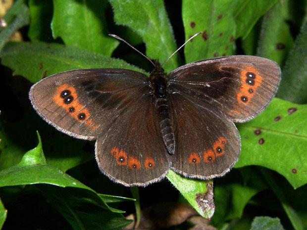 Duftschuppen bei Erebia aethiops-Männchen auf Vorderflügeloberseite