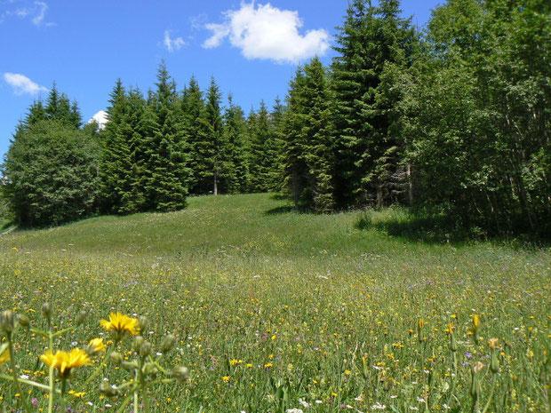Fichtenwald bei Ciernes Picat
