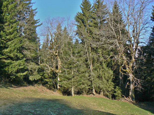 Fichtenwald im Kanton Obwalden