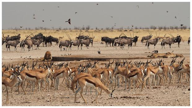 Etosha; Namibie