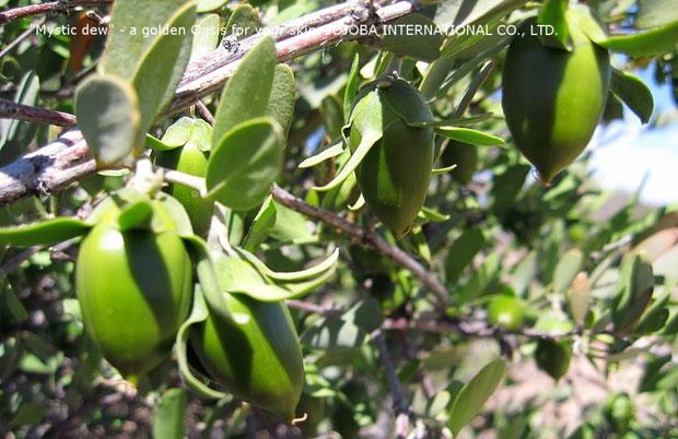 ♔ 広大な大地アリゾナ州ハクアハラヴァレーで育つ原種ホホバ(純粋種Sayuri原種ホホバ)の種子(雌・Queen) 5月