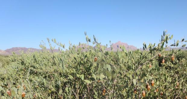 ♔ アリゾナ州原産原種ホホバ(純粋種Sayuri原種ホホバ)種子(雌・Queen)古代ホホカム族が定住農園をしていたと云われる広大な大地にて。