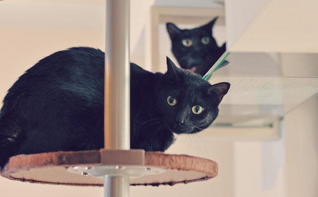 キャットタワーとキャットウォークに乗る猫
