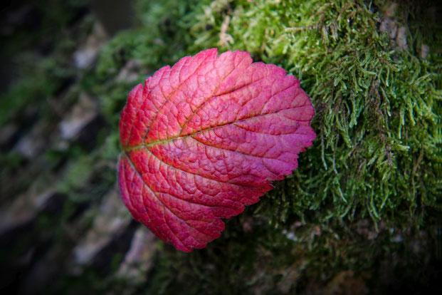 purpur-farbenes-herbstblatt-auf-astmoos