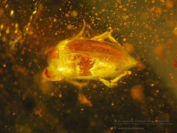 Inclusion in amber:  Coleoptera, Melandryidae