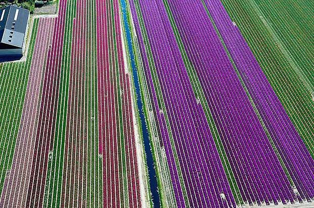 поля тюльпанов-6