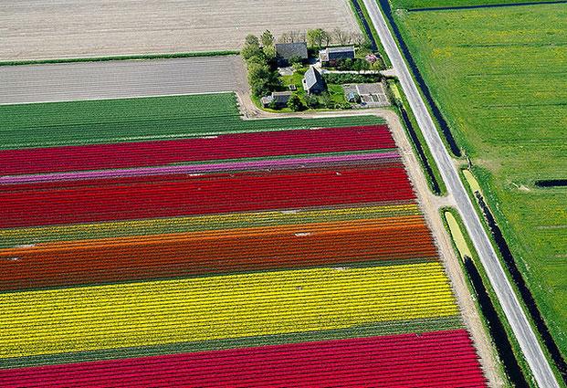 поля тюльпанов-11