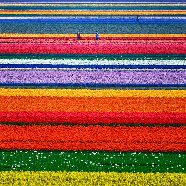 поля тюльпанов-1