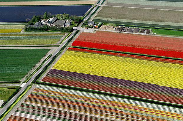 поля тюльпанов-3