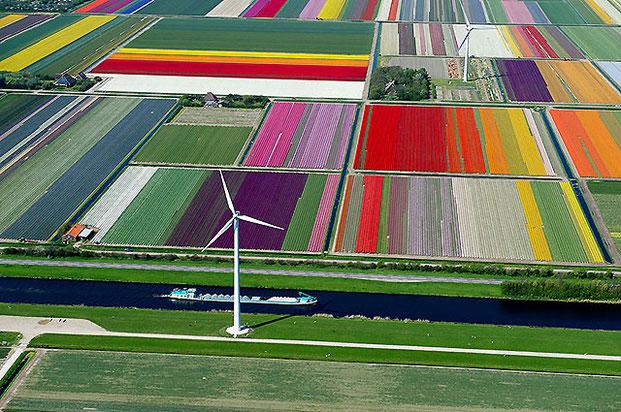 поля тюльпанов-2