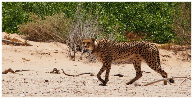 Guépard de Namibie
