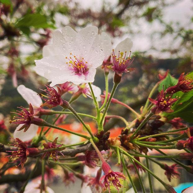 大分県産ローカルタレントが別府市の桜を鑑賞