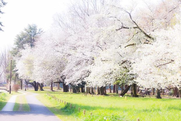 練馬区 光が丘公園 出張撮影 女性カメラマン 料金安い 桜撮影