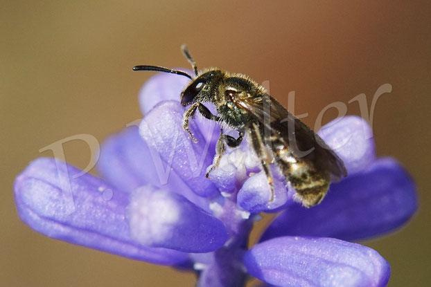 Bild: Furchenbiene, Halictus spec., an der Traubenhyazinthe