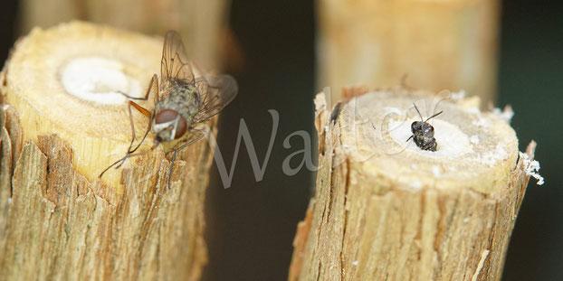 Bild: kleine Grabwespe schaut aus ihrem markhaltigen Stengel