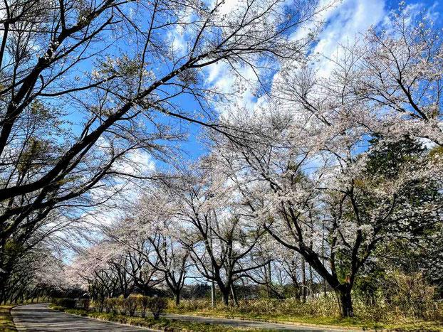 西郷村 小田倉の桜並木