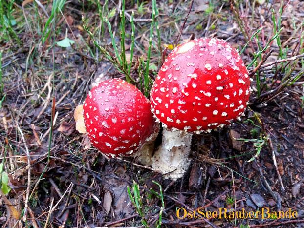 Massenhaft, zum Teil wunderschöne Pilze - leider kennen wir uns nicht aus und so bleiben nicht nur diese beiden stehen