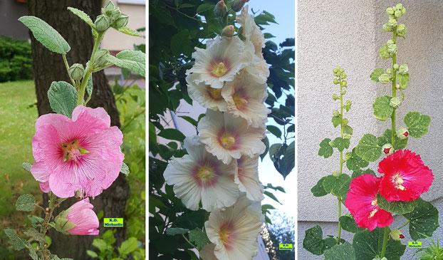 3 verschiedene, wunderschöne Stockrosen: weiß, rosa und rote Blüten von K.D. Michaelis