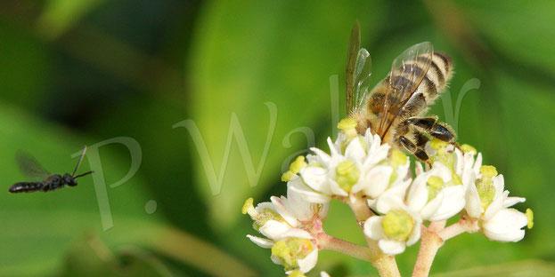 Bild: natürlich kommen auch die Honigbienen zur Nektartankstelle der Bienenbaumblüten, wieder liegt zufällig eine kleine Wildbiene ins Bild