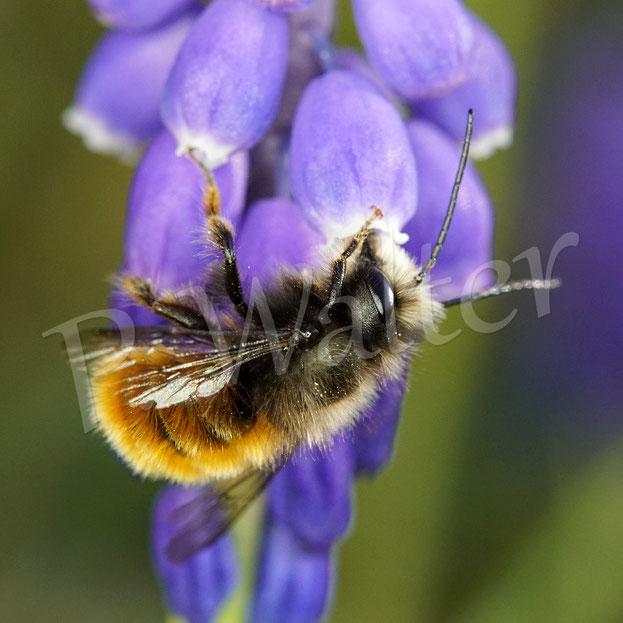 07.04.2020 : ein sehr frisch aussehendes (evtl. spät geschlüpfes) Männchen der Gehörnten Mauerbiene, die Haarpracht ist noch voll da (vergleiche mit dem Foto vom 04.04.) ...