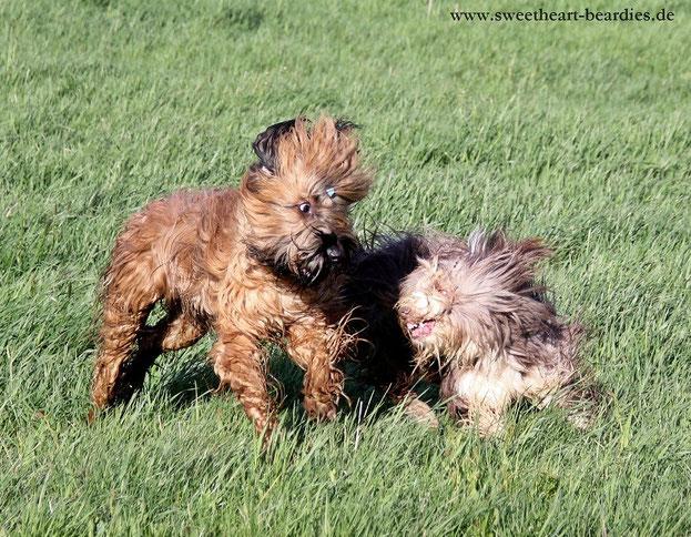 Der Beardie will nur Spielen :-)
