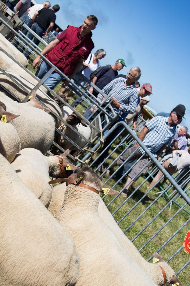 Schafe stehen in einem Pferch
