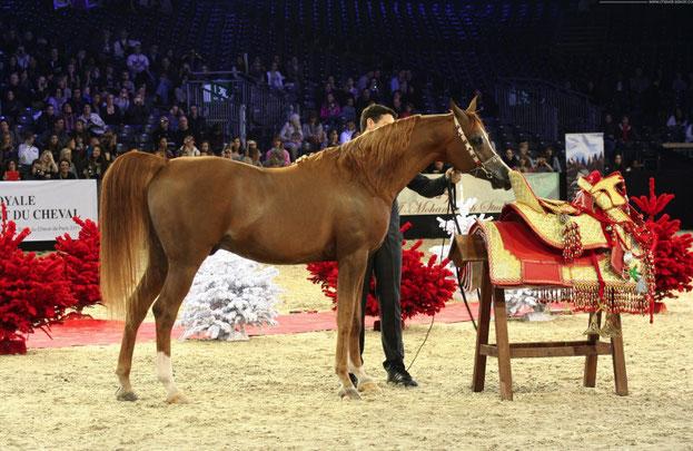 Marquis  CAHR  né en 200 .   Médaille d' Or, CHAMPION DU MONDE MÂLE  SENIOR ...;........... ........3/11 Déc. 2011. PARIS-VILLEPINTE . Championnat du Monde du Cheval Arabe . C* L. Bataille