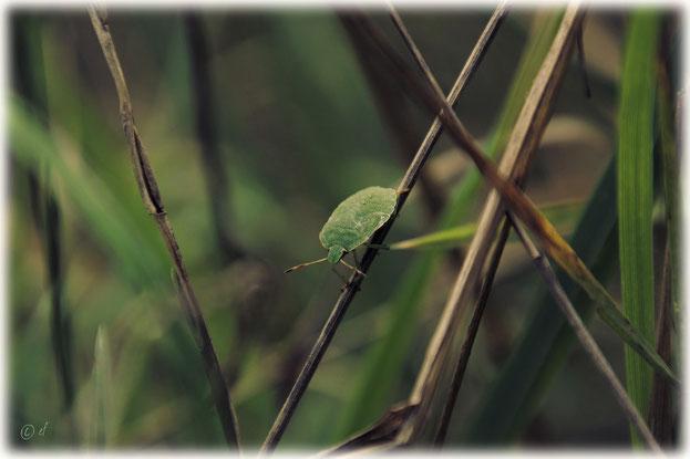 Eine Grüne Stinkwanze