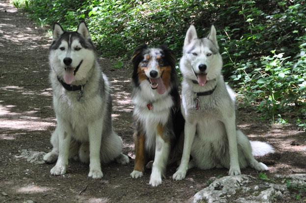 berger australien husky aussie chien dog