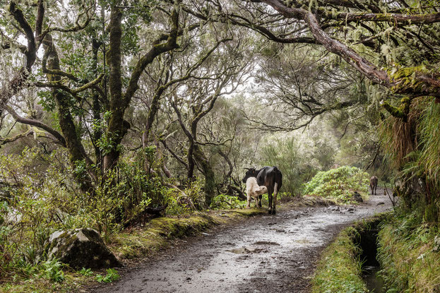 Geisterwald auf Madeire, Johannes Kowalewski