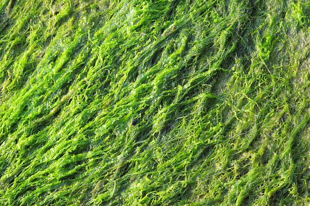 beneficios del alga spirulina, que es la spirulina, la mejor spirulina, opinion spirulina, spirulina salud, spirulina bajar de peso