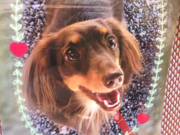 ミニチュアダックスラヴちゃん。お散歩が苦手、他の犬が苦手、知らない場所が苦手でした。成犬社会化レッスンで大きな成長♪ドッグランでの笑顔 可愛いですね☆