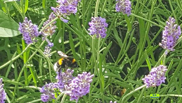 Erdhummel beim Nektarsammeln  im Lavendel von K.D. Michaelis