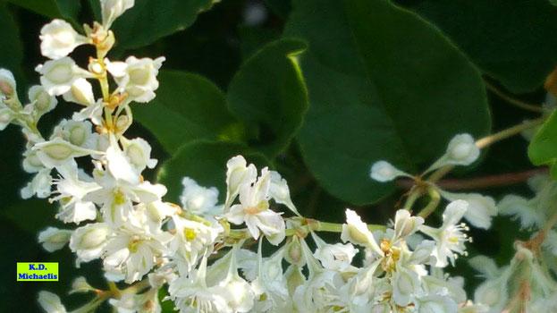 Nahaufnahme der rispenförmigen, wunderschönen Einzelblüten eines weißen Schlingknöterichs von K.D. Michaelis