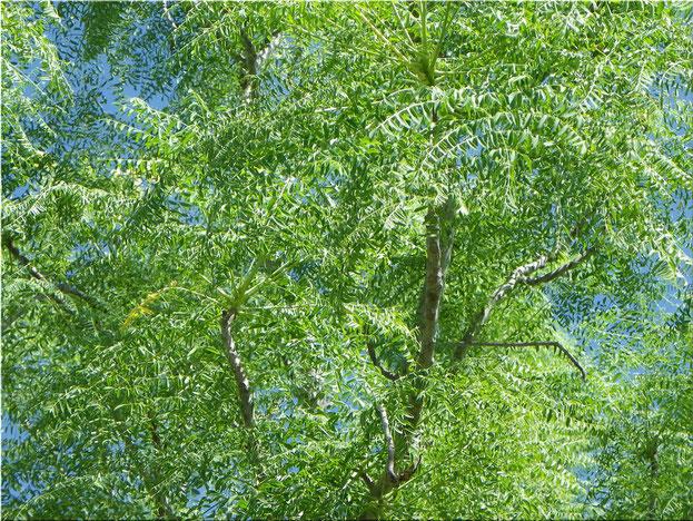 """Moringa Oleifera """"Boom van het leven"""", de bladeren bevatten enorm véél voedingsstoffen: anti-oxidanten, essentiële eiwitten, vitaminen fenolen,.."""