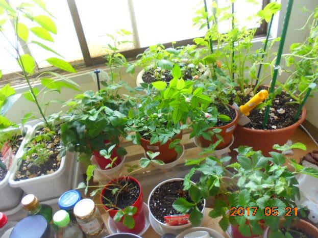 うちの花とイチゴと野菜も生命力あふれる様子でたまに収穫も出来てます、ハーブ類は料理に使えて良いですね、部屋でここまで育つとは...(´▽`)🌸
