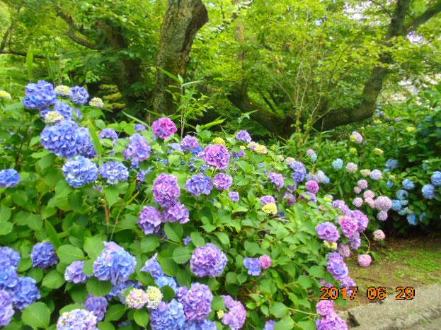 今年は雨が少なめでしたが、花は結構咲いてました。