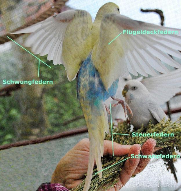Sam, Hansibubi (Farbschlag: Hellflügel, Spangle, zimt, dunkelblau, EGG 2)  zeigt sein Großgefieder