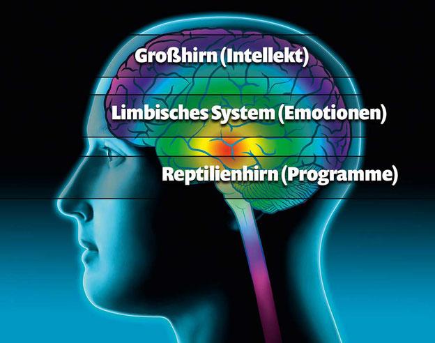 Großhirn, limbisches System und Reptilienhirn