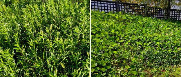 木戸が池緑地で密生するセイタカアワダチソウ(左)やクズ。いずれも草刈り後で背が低い状態だが、勢いは旺盛。