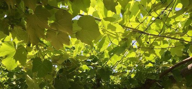 fox grape, pergola,  Villa, Casafredda, Arezzo, Toscana, Tuscany, Italy