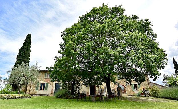 Casafredda Sycamore tree, Arezzo, Tuscany